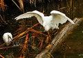 Free Pair Of Snowy Herons Royalty Free Stock Image - 16898546
