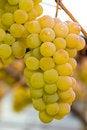 Free White Grapes Royalty Free Stock Photo - 16898565