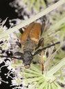 Free Red Longhorn Beetle (Stictoleptura Rubra) Royalty Free Stock Photos - 16898838