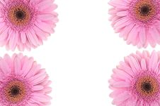 Free Pink Gerbera Flower Isolated On White Stock Images - 16890034