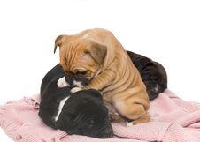 Free Staffordshire Bullterrier Pups Royalty Free Stock Photography - 16890797
