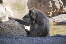 Free Baboon Stock Image - 16891401