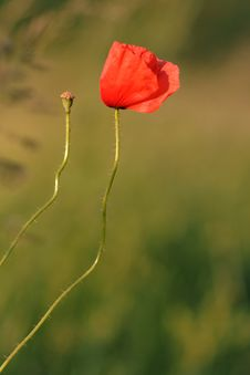 Papaver Rhoeas Royalty Free Stock Photography