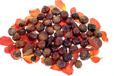 Free Chestnut Royalty Free Stock Photo - 16891705