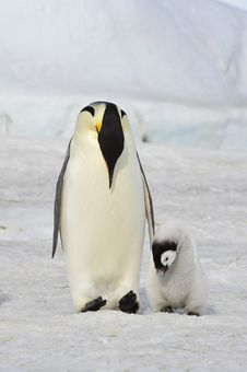 Free Emperor Penguin Royalty Free Stock Image - 16892536