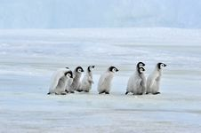 Free Emperor Penguin Stock Photography - 16892652