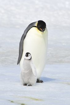 Free Emperor Penguin Stock Photos - 16892793