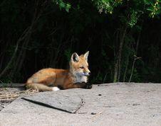 Free Baby Fox Kits Near Den Royalty Free Stock Image - 16893156