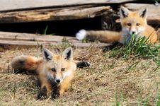 Free Two Baby Red Fox Kits Near Den Stock Photos - 16893193