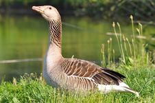 Free Greylag Goose Stock Photo - 16893310