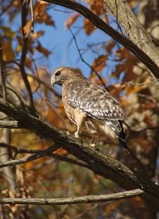 Free Red-shouldered_hawk Royalty Free Stock Photos - 16893628