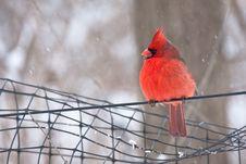 Free Cardinal Royalty Free Stock Image - 16893706