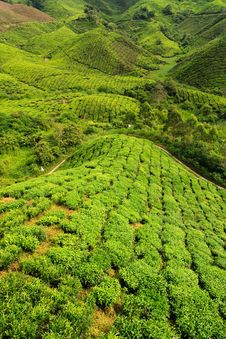Free Tea Plantation Royalty Free Stock Photography - 16893987