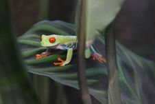Free Red-eyed Green Tree Frog Royalty Free Stock Photography - 16894147