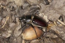 Free Female Stag Beetle Acorn Royalty Free Stock Image - 16894316