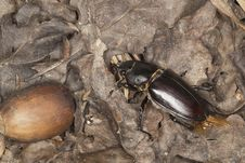 Free Female Stag Beetle Acorn Stock Photos - 16894383