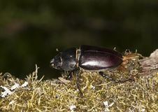 Female Stag Beetle Royalty Free Stock Photos