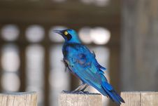 Cape Glossy Starling Royalty Free Stock Photography