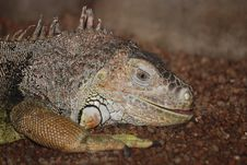 Free Iguana Stock Photo - 16894600