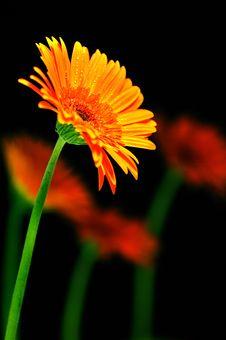 Free Orange Flowers Royalty Free Stock Images - 16894659