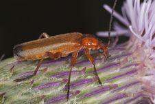 Free Common Red Soldier Beetle (Rhagonycha Fulva) Stock Photo - 16895090