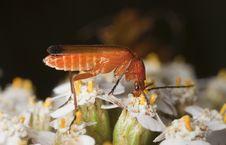 Common Red Soldier Beetle (Rhagonycha Fulva) Stock Photos