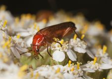 Common Red Soldier Beetle (Rhagonycha Fulva) Stock Photos