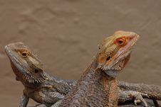 Free Bearded Dragons Stock Images - 16895174