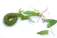 Free Caterpillar Royalty Free Stock Photography - 16896097