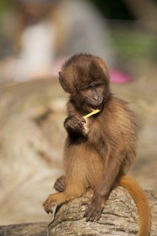 Free Baby Monkey Stock Photo - 16896380
