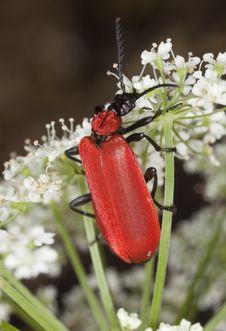 Free Black Headed Cardinal Beetle (Pyrochroa Coccinea) Royalty Free Stock Photography - 16896697