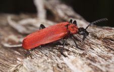 Free Black Headed Cardinal Beetle (Pyrochroa Coccinea) Stock Photos - 16896733