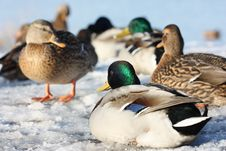 Free Ducks On Ice Stock Photography - 16897212