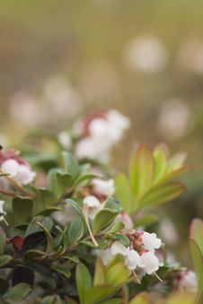 Free Blooming Cowberry Royalty Free Stock Photos - 16897328