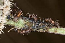 Free Ants And Aphids Stock Image - 16898191