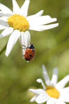 Free Ladybug On Daisy Stock Photos - 16898463