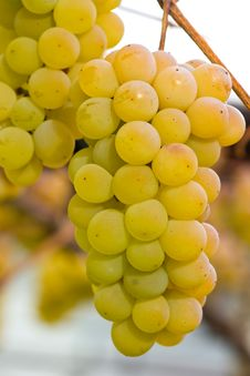 Free White Grapes Royalty Free Stock Photo - 16898565