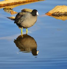 Free Coot Reflection Stock Image - 16898591