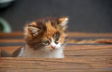 Free Kitten Royalty Free Stock Photography - 16898697