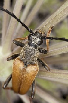 Red Longhorn Beetle (Stictoleptura Rubra) Stock Images