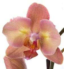 Free Orchid Flower Royalty Free Stock Photos - 16899148