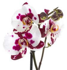 Free Orchid Flower Royalty Free Stock Photography - 16899167