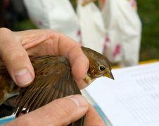 Free Banding A Fox Sparrow Royalty Free Stock Photos - 16899468