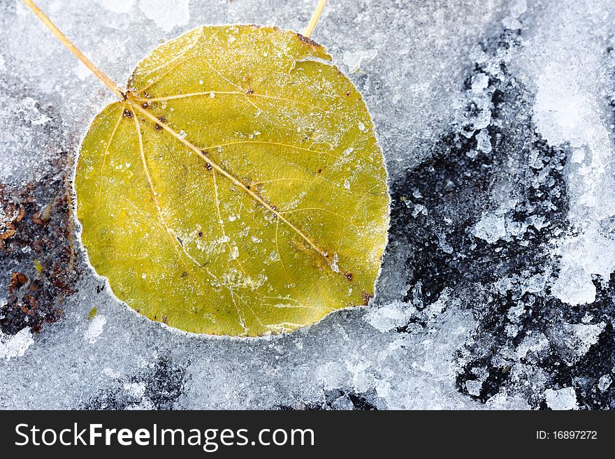 Leaf of a tree in the ice