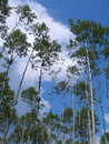 Free Birches Stock Image - 1698481