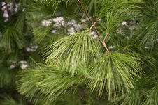 Free Pine Needles Stock Images - 1691024