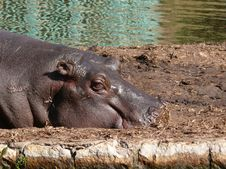 Free Relaxing Hippopotamus Royalty Free Stock Photography - 1692657