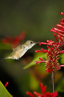Free Hummingbird Hovering Stock Images - 1693374