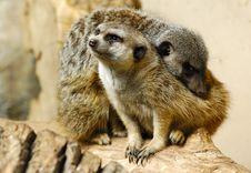 Free Meerkats Royalty Free Stock Photo - 1693505
