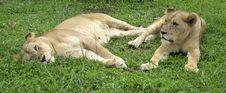 Free Lions Stock Photo - 1693640